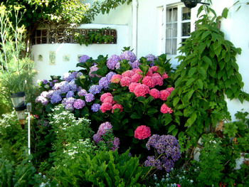 Read more about the article Ask Gardenerd: Make my Hydrangea Blue