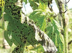 Septoria_leaf_spot