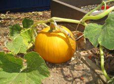 round_pumpkin