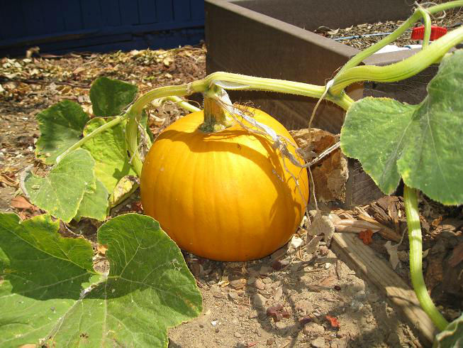 You are currently viewing Pumpkins on the Early Side