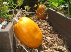 oblong_pumpkins