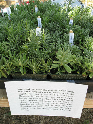 Read more about the article U-Pick Lavender