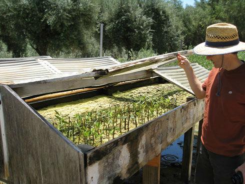 Olivetreecuttings