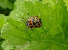 Bagrada Bug