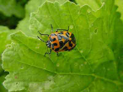 Read more about the article Harlequin Bugs – Not Funny!
