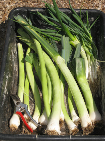 Read more about the article Preserving Leeks – High and Dry