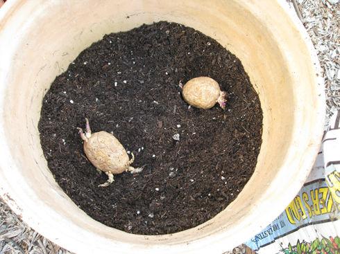 plantingpotatoes