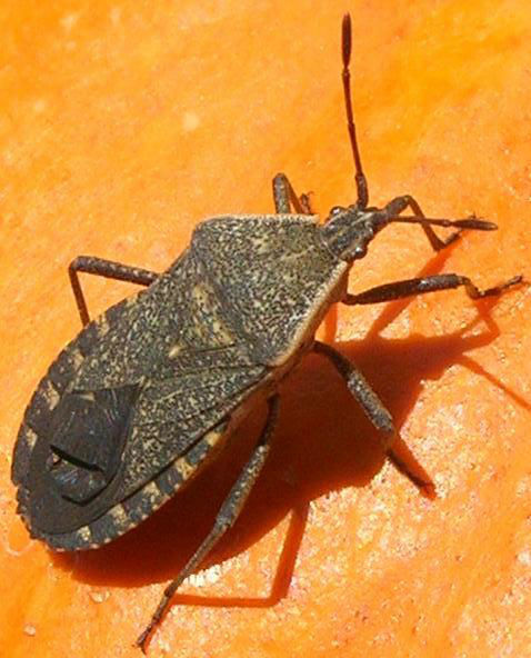 You are currently viewing Squash Bug Battles