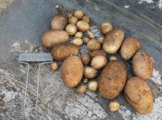 fallpotatoes1