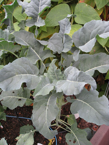 Read more about the article Growing Broccoli – Italian Style