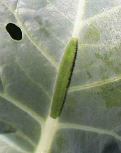 cabbagewormlarger