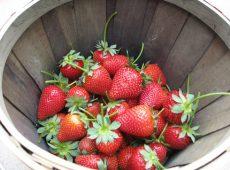 Strawberriesharvested1