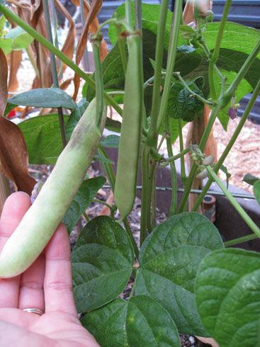 freshblackcocobeans