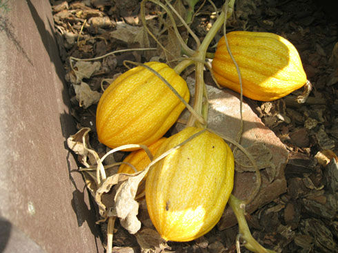 how to tell when squash is ready to pick