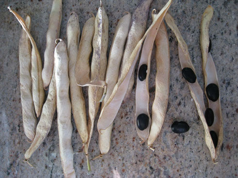 Read more about the article Black Coco Beans – An Heirloom Surprise
