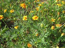 goldenguardianmarigolds