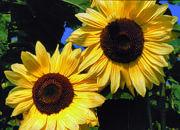 SunflowerLemonQueen180