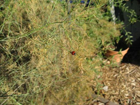 ladybugonasparagus