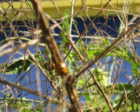 ladybugsonasparagus