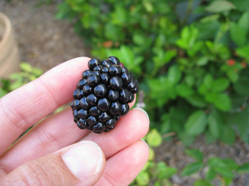 Read more about the article Harvesting Blackberries – Very Carefully