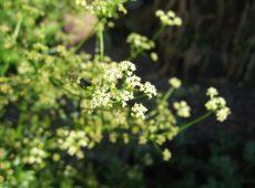 celeryflower