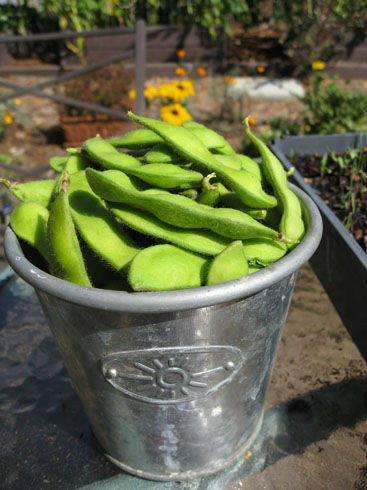 Read more about the article Harvesting Edamame