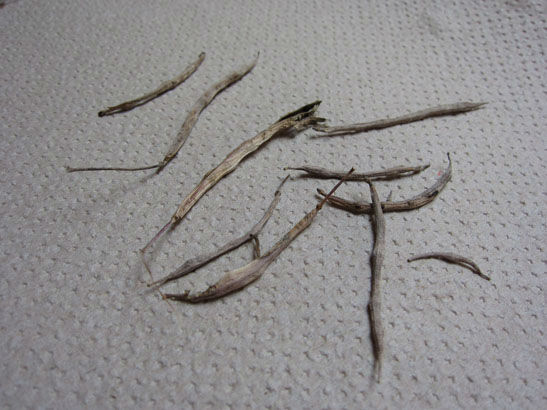 kaleseedpods
