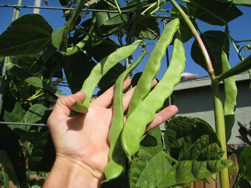Read more about the article Harvesting Romano Beans