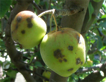 Read more about the article Dealing with Apple Scab