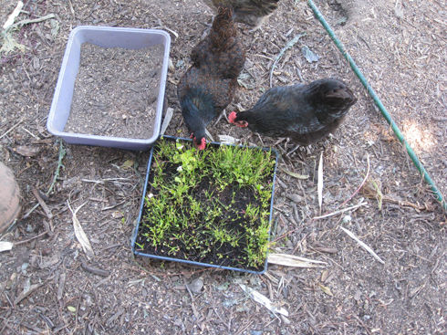 Read more about the article Chicken Forage Mix: The Feeding