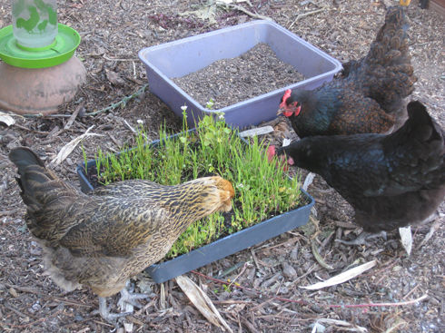 Read more about the article Ask Gardenerd: Growing Chicken Feed
