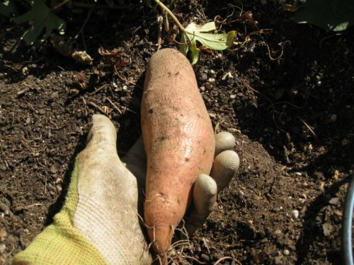 Read more about the article Growing Sweet Potatoes
