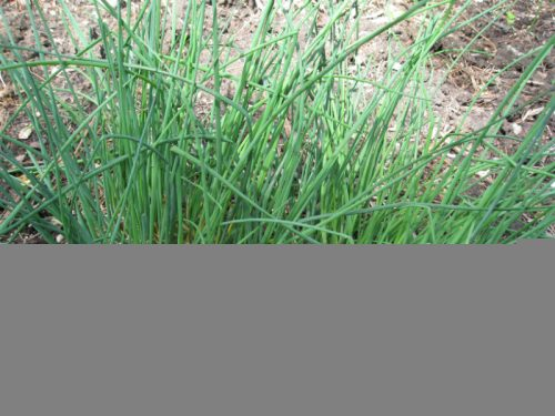Read more about the article What to Do with All Those Chives?