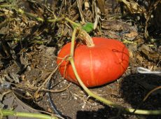 One of two Cinderella Pumpkins grown in 2012