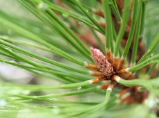 Pine needles for tea?
