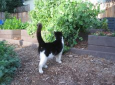 Mittens likes cover crops