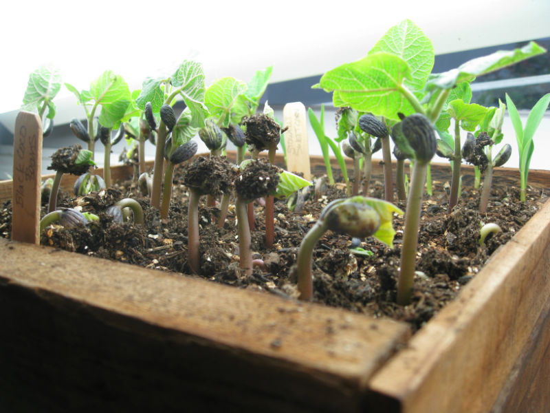 Black Coco beans and corn sprout under grow lights