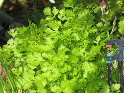 Read more about the article Preserving Cilantro (and other herbs)