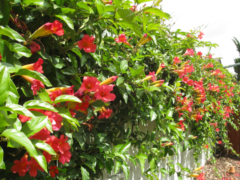 Our Trumpet Vine is going crazy right now. The hummingbirds love it, as do our bees.