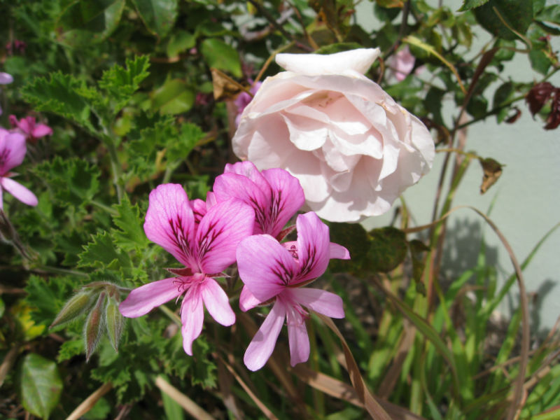 One of many roses and a lime geranium in flower