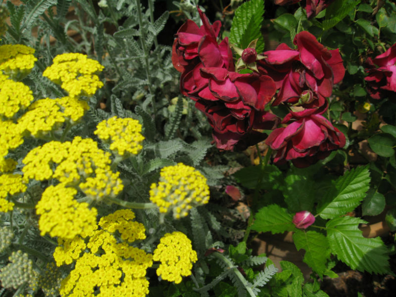 Yarrow attracts parasitic wasps to fight off aphids