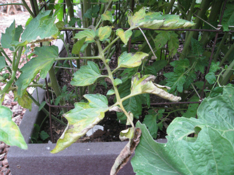 Tomato blight starts at the bottom and works its way up