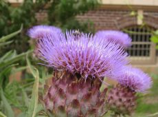 Bee on a cardoon