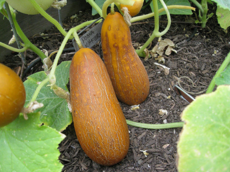 Our Poona Kheera Indian cucumbers look just like the picture said it would!