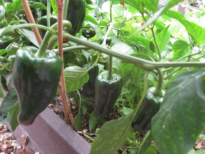 Our second-year Poblano is drooping under the weight of its load.