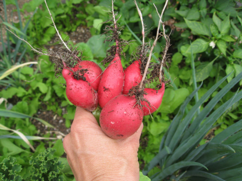 We're roasting radishes in mid-summer in Los Angeles. A garden miracle!