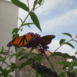 Monarchs love Butterfly Bush