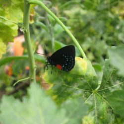 I think this is an Atala Hairstreak