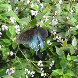 A Pipevine swallowtail