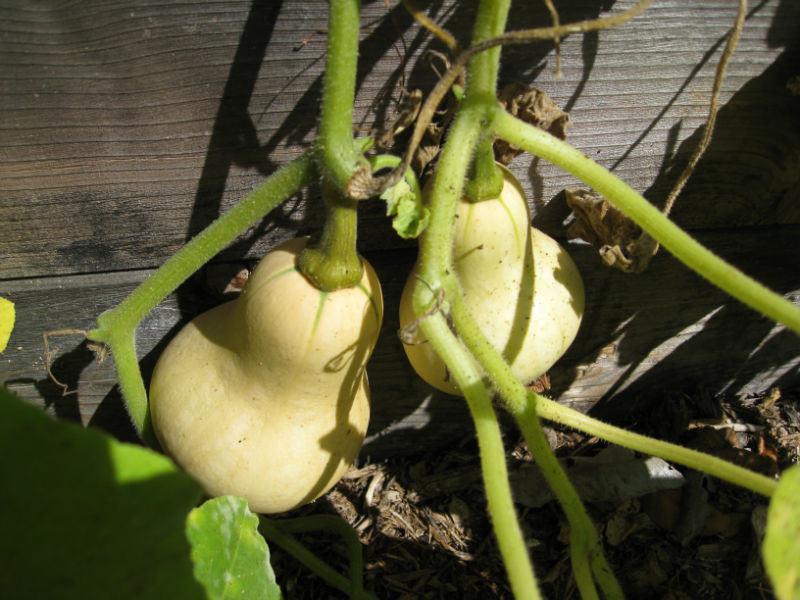 Our butternut squash are still small, but they will be just as tasty